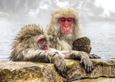 The Snow Monkey (Japanese macaque) enjoyed the hot spring in winter at Jigokudani Monkey Park of Nagano, Japan.