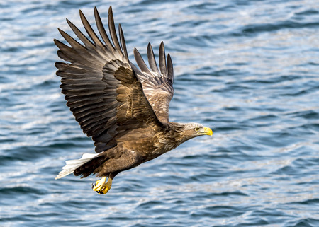The flying white-tailed eagle near Rausu in Shiretoko, Hokkaido of Japan.