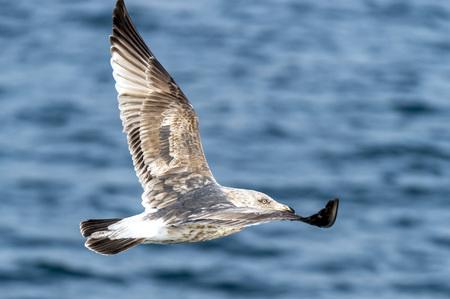 The Flying Predatory Seagull near Rausu in Shiretoko, Hokkaido of Japan. Фото со стока