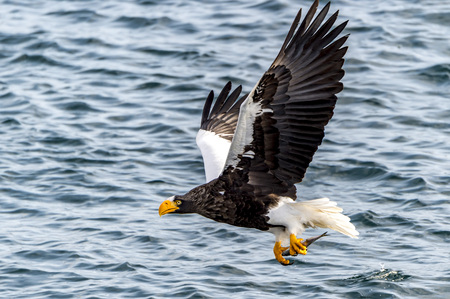 The Flying Predatory Stellers Sea-eagle near Rausu in Shiretoko, Hokkaido of Japan.