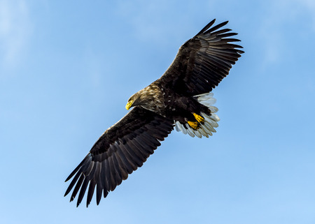 The Flying White-talied Sea Eagle near Rausu in Shiretoko, Hokkaido of Japan.