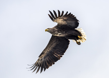 The flying white-tailed eagle near Rausu in Shiretoko, Hokkaido of Japan.