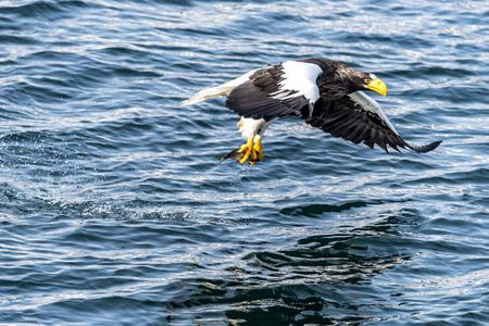 The Flying Predatory Stellers Sea-eagle near Rausu in Shiretoko, Hokkaido of Japan.