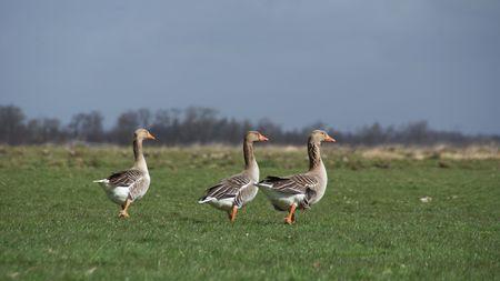 Geese trio Stock Photo - 4596951