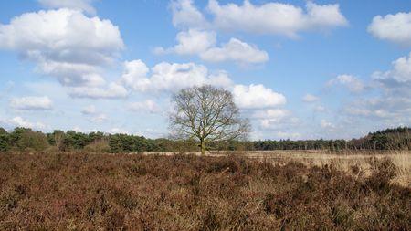 heathland: Tree in heathland