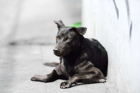 black bitch: Black  dog is relaxing at walk way