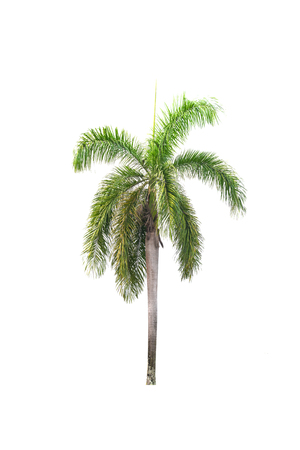 thick growth: palm tree isolated on white background