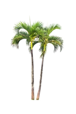 Betel palm tree isolated on white and clipping paths