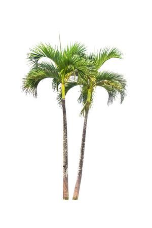 Betelnoten palmboom geïsoleerd op wit en clipping paths