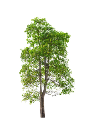 large tree: Green Tree isolated on white