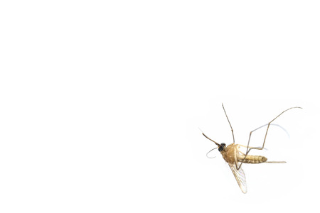 culicidae: Dead mosquito lie-down on white background.