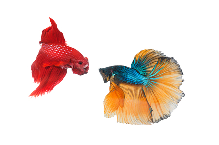 blue fish: Couple betta fighting fish top form preparing to fight isolated a on white Stock Photo