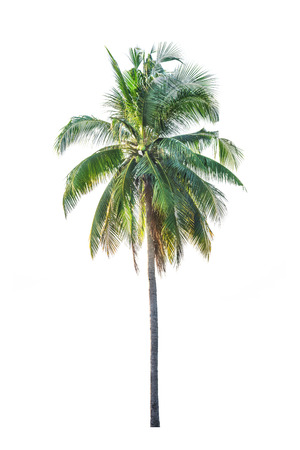 nucifera: Coconut palm tree, Cocos Nucifera, with green leaves isolated