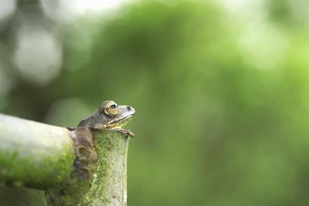 Common tree frog Golden tree frog in steel pipe