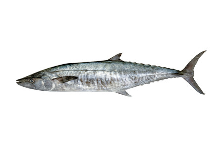 Fresh king mackerel fish isolated on the white + clipping paths Imagens
