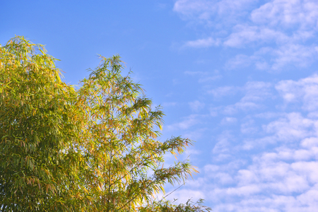 Beautiful Bamboo with rim light and blue sky