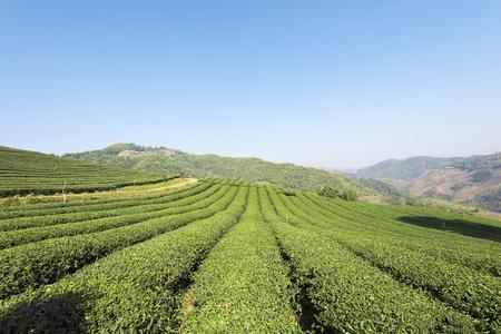 Tea plantation at Doi Mae Salong, Chiang Rai, Thailand.View of tea plantation landscape at 101 Chiang Rai Stok Fotoğraf