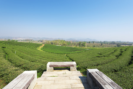 Tea plantation at Mae Chan, Chiang Rai, Thailand.View of tea plantation landscape at Choui Fong Tea Chiang Rai