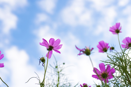 purple  flowers or Cosmo with green foreground on blue sky and white cloud in a sunny day in summer