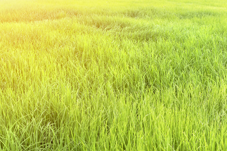 Green rice field at sunrise Stock Photo