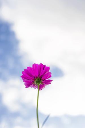 Close up of Purple Cosmos flowers in field Stok Fotoğraf