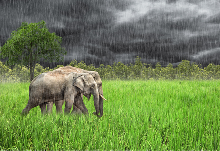 Elephant in the wild . Rainy weather. Country Of Thailand