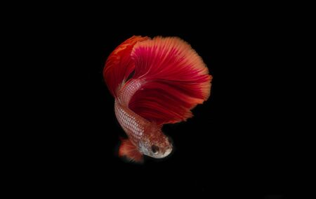 Red siamese Fighting Fish on black