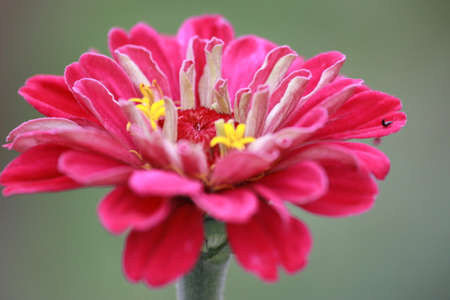 Bright pink petals of a Gerbera Daisy (Barberton Daisy) against a background of the