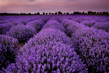purple flowers: Fields of Lavender at sunset