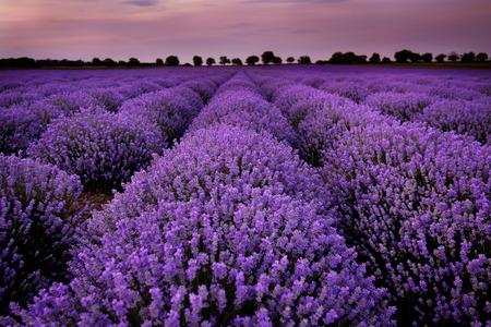 flores moradas: Los campos de lavanda al atardecer Foto de archivo