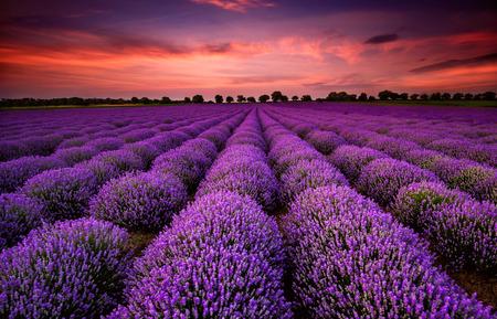 景觀: 令人驚嘆的景觀與薰衣草花田,日落 版權商用圖片
