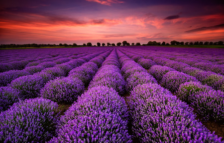 landscape: Stunning landscape with lavender field at sunset Stock Photo
