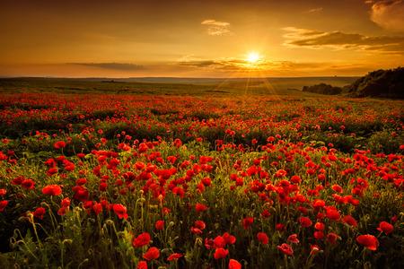Campo di papaveri al tramonto Archivio Fotografico - 29836249
