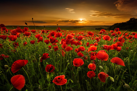 Poppy field at sunset photo