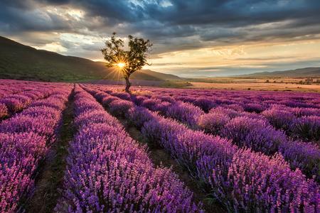 campo de flores: Impresionante paisaje con campo de lavanda en la salida del sol