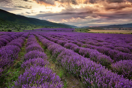 Stunning landscape with lavender field at dawn Фото со стока