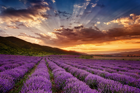 lavender flowers: Stunning landscape with lavender field at sunrise