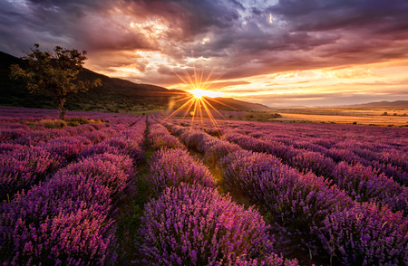 Stunning landscape with lavender field at sunrise photo