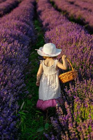 campo de flores: Ni�o cosechar lavanda, que sostiene una cesta en un campo de lavanda totalmente bloosomed