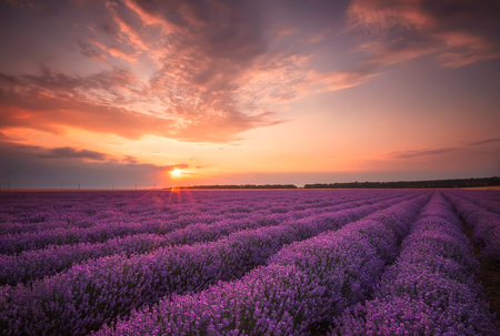 field sunset: Lavender sunset.  Stunning landscape with lavender field at sunset.