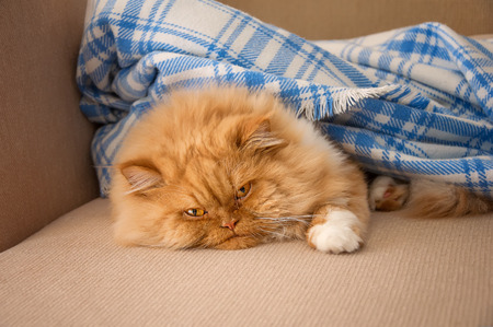 couch: Lazy ginger cat.  Sweet ginger Persian cat is lying on the couch under a blue blanket.