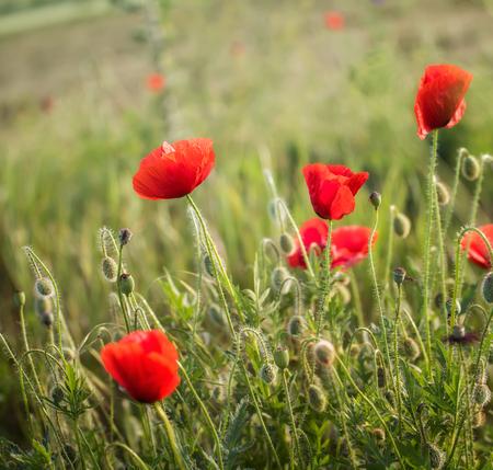 Poppy field close up