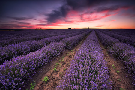 Stunning landscape with lavender field at sunset Фото со стока