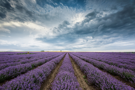 Stunning view with lavender field and heavy clouds hanging over it 写真素材 - 126045636