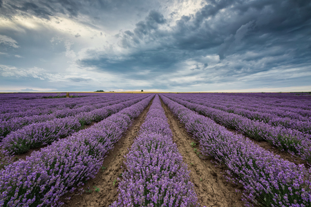 Stunning view with lavender field and heavy clouds hanging over it 写真素材 - 126045634