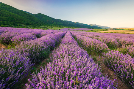 Stunning view with lavender field before sunset Archivio Fotografico - 126045632