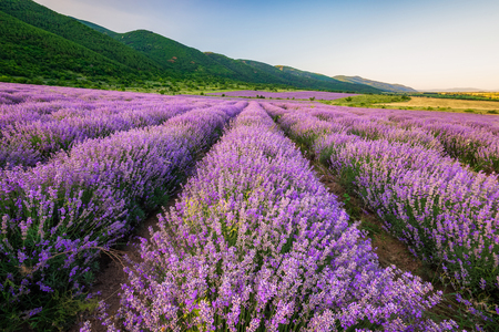 Stunning view with lavender field before sunset Фото со стока