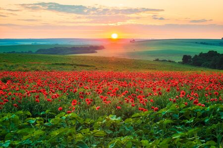 Amazing view with a spring field and lots of poppies at sunset