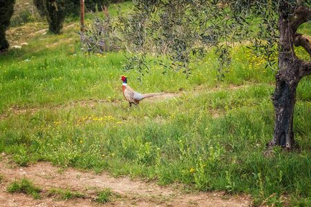 Pheasant walks in a spring olive grove in Tuscany