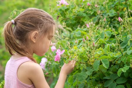 A girl is picking oil-bearing rose (Rosa Damascena) in the fields near Kazanlak, Bulgaria. Close up view.